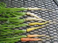 Future_carrot_varieties